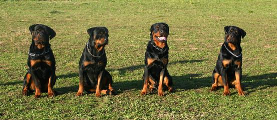 quatre rottweilers