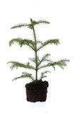 growing araucaria in soil poster