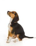 Fototapete Beagle - Rasse - Haustiere