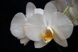 Fototapety weisse orchide2