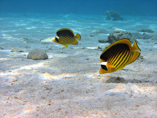 butterflyfish couple