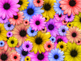 background made from coloured flowers poster