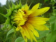 a dismissed flower of a sunflower.