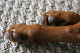 pet dog feet paw poster