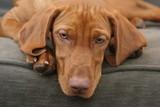 cute dog pet face head vizsla nose eye adore poster