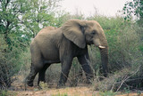 lone elephant in the bush poster