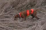 hungarian vizsla hunting hunt dog pet poster