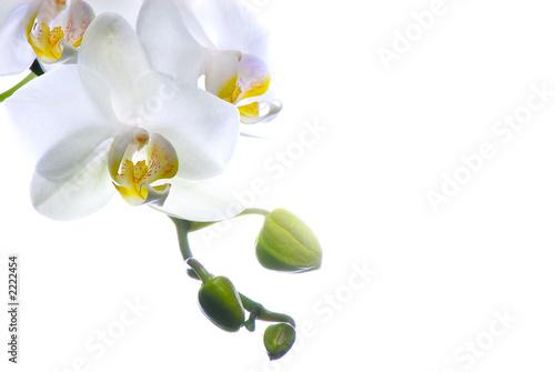 orchid e blanche photo libre de droits sur la banque d
