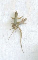 entwined lizards on white wall