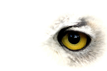 owl big yellow eye - closeup