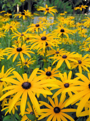 field of black eyed susan
