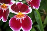 Fototapety lila orchidee