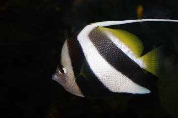 pez balnco y negro
