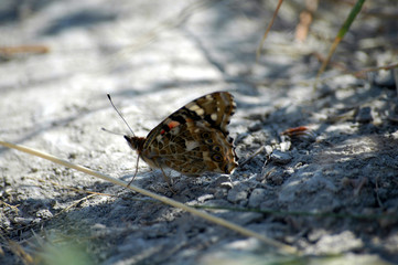painted lady butterfly (vanessa cardui) resting