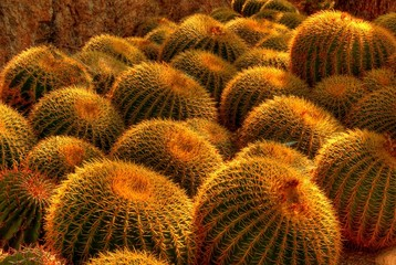 barrel cactus farm