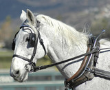 white carriage horse poster