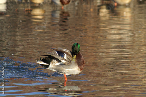 mallard with an itch