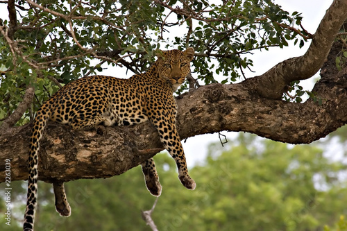 Aluminium Luipaard leopard in a tree