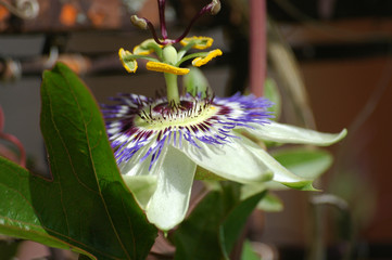 tuscan passion flower
