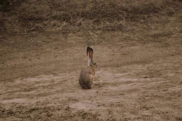 wild jack rabbit,