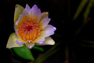 water lilyflower