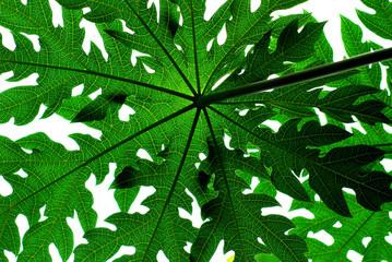papaya tree leaf
