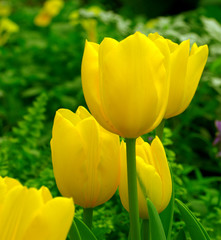 yellow tulip garden in spring