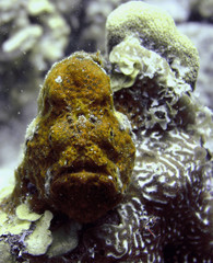 underwater frogfish