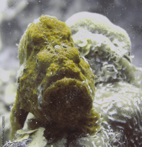 rusty frogfish