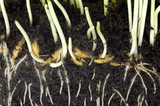 young plants in soil. spring poster
