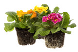 spring flowers with root system poster