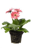 pink daisy with water droplets and root system poster