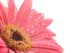 closeup of pink daisy with water droplets poster