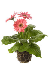 pink daisy with water droplets and root system