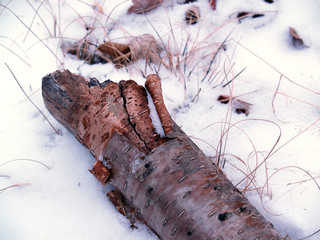 """winter"": decaying yellow birch log in fresh snow"