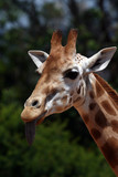 girafe with tongue out poster