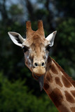 girafe head with tongue poster