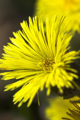 flower of coltsfoot