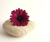 cape daisy on beach stone