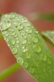 droplets on a leaf poster