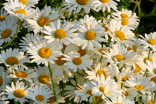 canvas print picture marguerites