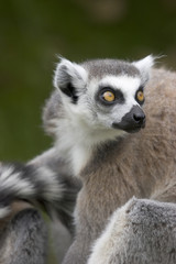 close up of a ring-tailed lemur