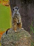 meerkat alert poster