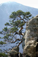 lonely pine tree on a cliff