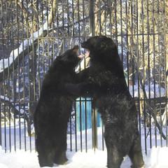 two  black bears wrestling
