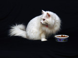white angora cat turning away from food bowl poster
