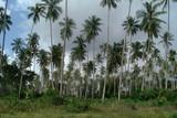 coconut tree forest