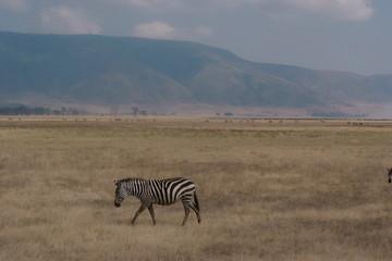 courageous zebra alone