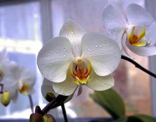 white and orange orchid