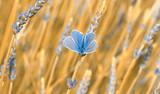 Fototapety papillon bleu